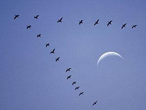 Migration des oiseaux en automne 060511oiseaux-migrateurs_g