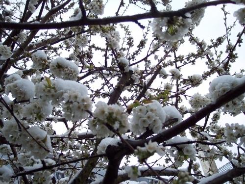 cerisier-en-hiver1