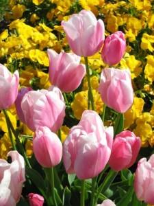 tulipe20don20quichotte