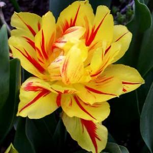 tulipe22