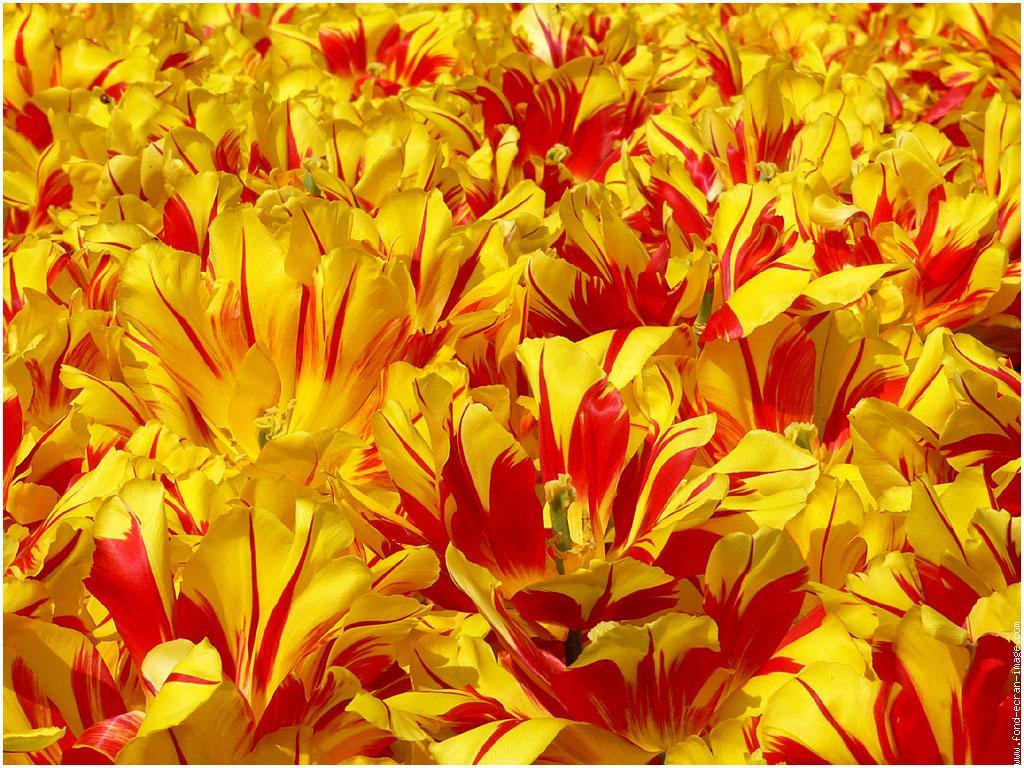 galerie-membrefleur-tulipetulipes02