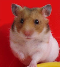 hamster16