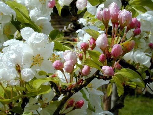 pommier-au-printemps