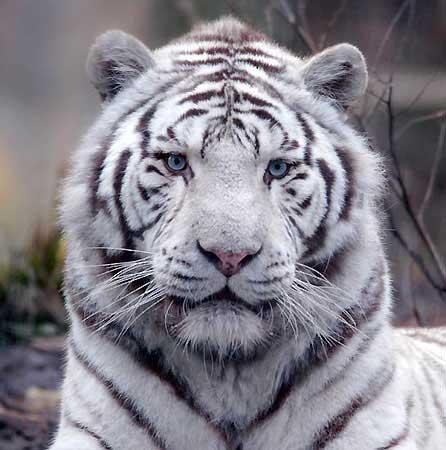 tigreblanc2