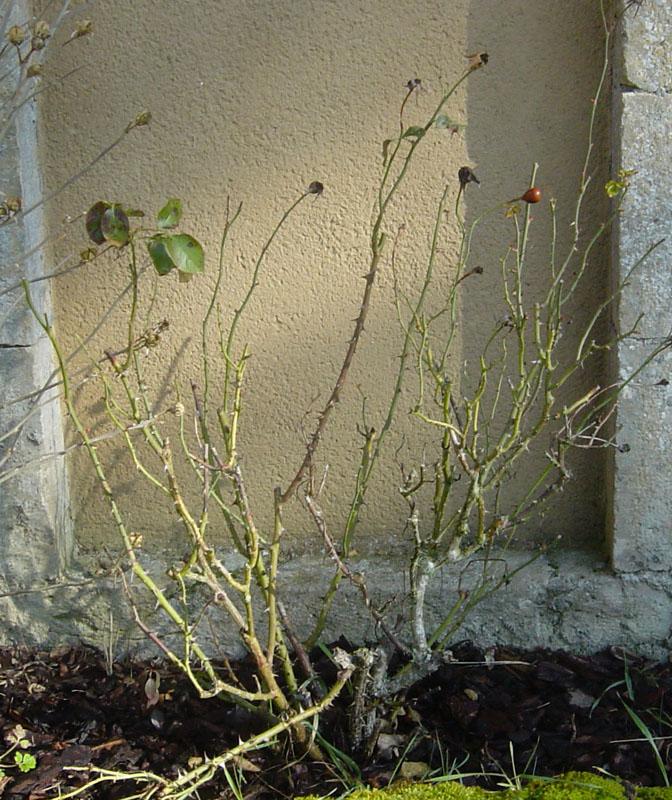 hortensia perd ses feuilles