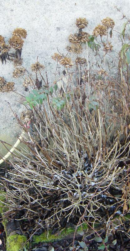 hortensia-hiver
