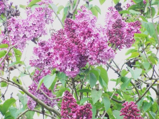 med-lilas-mauve-visoflora-2241