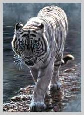 tigreblanc3b