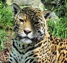 le jaguar